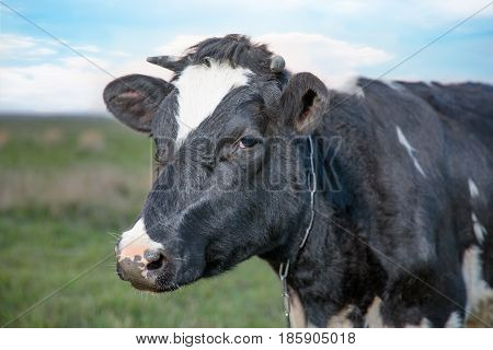 spotted cow in field of fresh grass