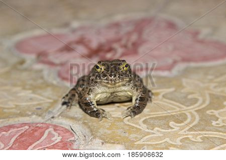 European green toad Bufo viridis sitting on a rock