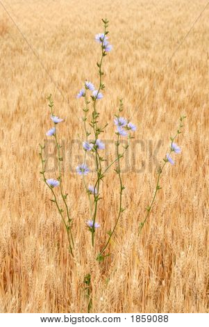 Chicory In Wheat