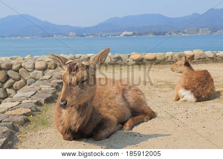 Deer rest in the sun in Miyajima island Hiroshima Japan