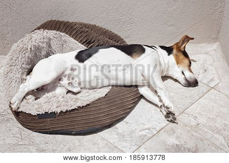 Jack russell terrier dog sleeping in the sun on the balcony Dog's heatstroke protection concept