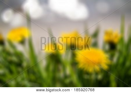 Yellow dandelions on the lake shore blur background. Yellow summer flowers with green grass and white bokeh blure. Defocused image of yellow dandelion flowers with leaves in green grass. Soft focus.