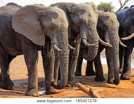 Three elephants standing in a line in Hwange National Park, Zimbabwe