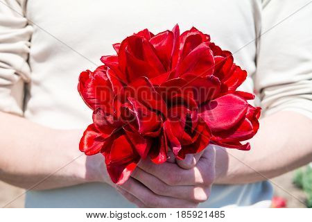 Man holding bouquet of red tulips. Man's hands with red tulip flowers. Selective focus.