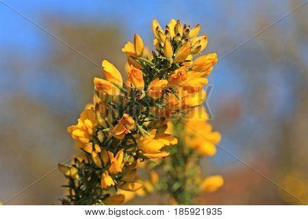 Gorse bush flowering in the spring sunshine