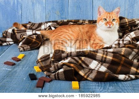 Ginger cat lay on plaid blanket at blue wooden background. Red orange cat with white chest portrait.