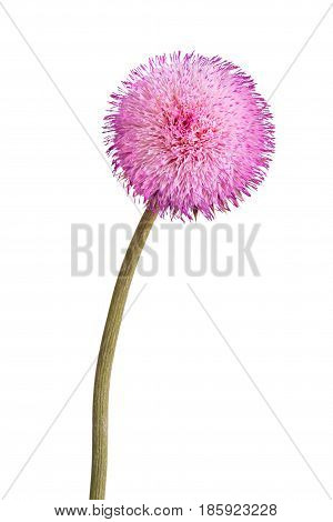 Single stem with a compound flower of musk thistle (Carduus nutans) isolated against a white background