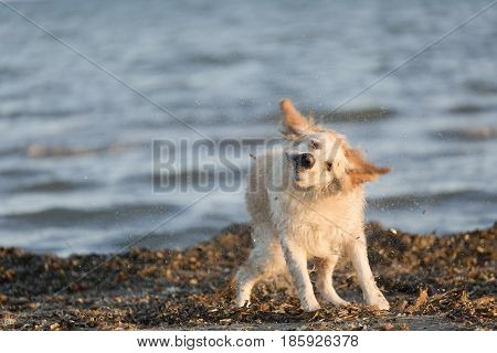 Golden Retriever Bobbing In The Water After Bathing.