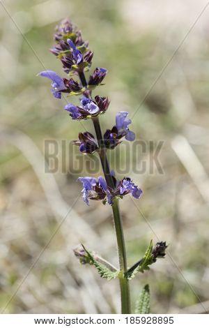 Perennial Plant Ajuga Reptans L.