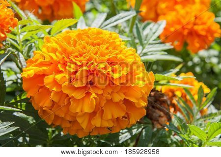 marigold yellow flower blooming beautiful in garden. Tagetes erecta, Mexican marigold, Aztec marigold, African marigold.