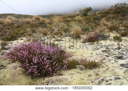 New Zealand Heather