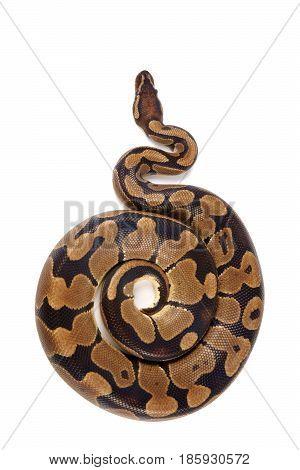 Python regius on white background it is also known as royal python or ball python