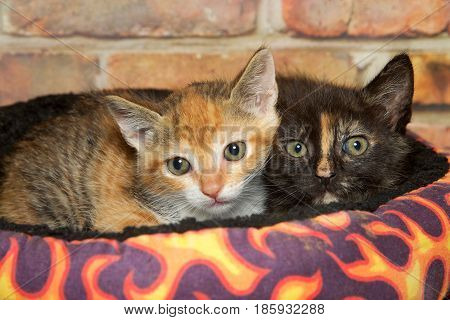 Two small kittens laying in a brightly colored bed looking directly at viewer. Calico and Tortie tabbies. Brick wall background