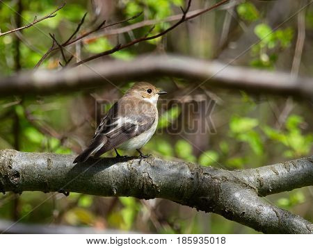 Pied Flycatcher surrounded by fresh green leaves - - Ficedula hypoleuca