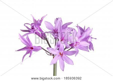 Closeup of a single stem with an umbel of purple flowers of society garlic or pink agapanthus (Tulbaghia violacea) isolated against a white background