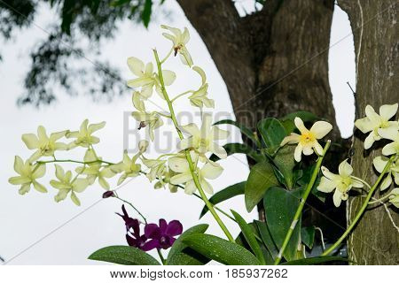 Wild purple and white orchid (philinopsis, Phalaenopsis) on a tree in a jungle, Vietnam