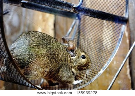 Photo of a Degu standing in a wheel