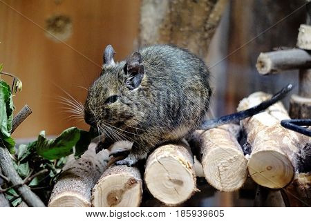 Photo of a caged Degu eating leafs