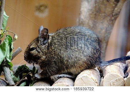 Close-up photo of a caged Degu eating leafs