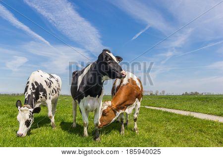 Three Dutch Cows In The Farmland Near Groningen