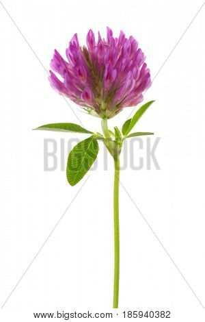 Clover flower isolated on white background. Trifolium pratense