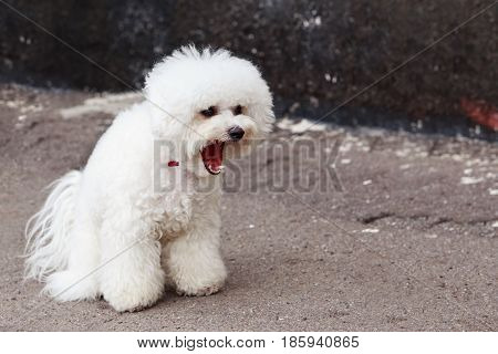 the dog maltese bichon walk on a street
