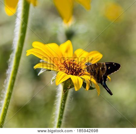 The long-tailed skipper is a spread-winged skipper butterfly found throughout tropical and subtropical South America south to Mexico. Perched on a wild sunflower.
