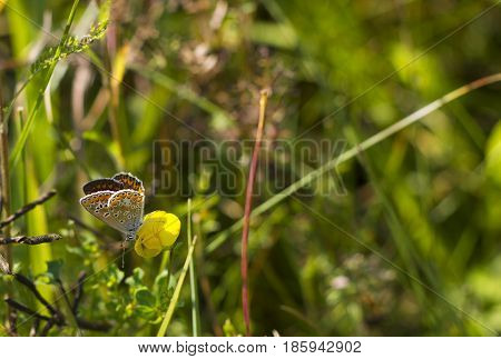 Butterfly brown color with orange spots Aricia agestis sits on small yellow flower Medicago falcata on summer meadow. Macro life