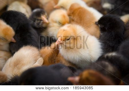 The chickens are yellow and black. There are a lot of newborn chicks in the frame.
