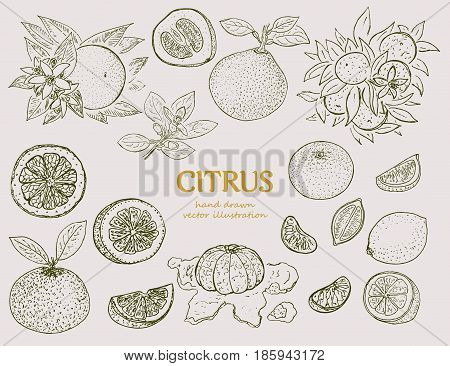 Hand drawn citrus botanical set with orange lime lemon mandarin and pomelo in vintage style isolated vector illustration