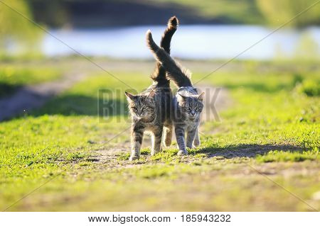 two cute kitty walking arm in arm through the Sunny green meadow