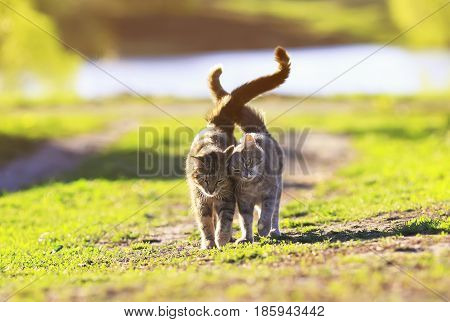 two cute striped kitten walking on green grass next to and caress on a summer day