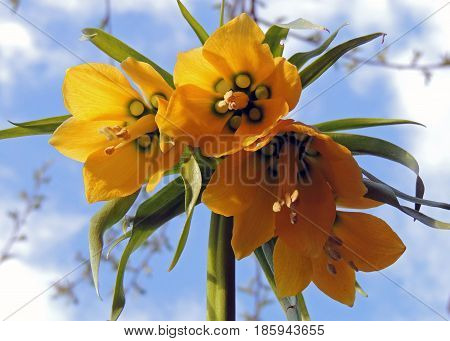 Flower bud yellow petals stamens pistils spring blue sky