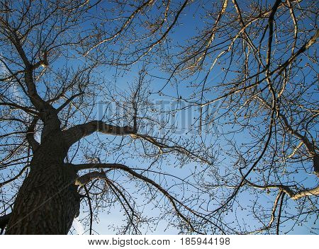 sinuous branches of the trees against the blue sky bottom view