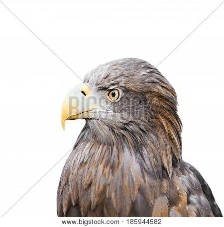 profile formidable bird eagle on white isolated background