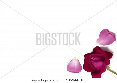 Rose bud with petals Rose bud with petals