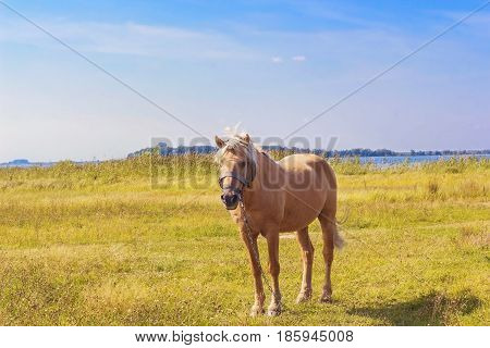 Beautiful light brown horse with a white mane stands on meadow. Palomino horse in field on summer sunny day