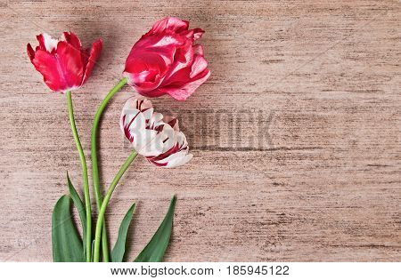 Tulip on light brown background with copy space