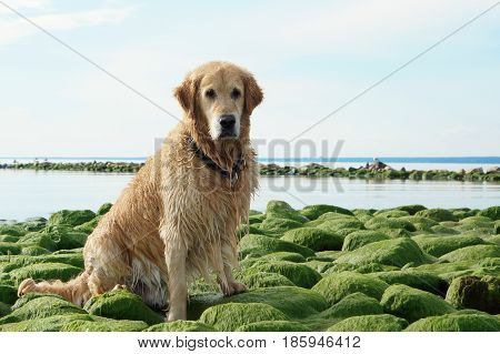 The dog breed golden retriever wet after bathing sitting on green stones at bay.