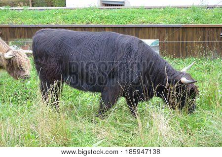 Herd of Scottish Highland Cattle in Lucerne. Switzerland