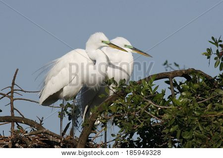 A Great Egret pair, at a Florida Rookery during breeding season