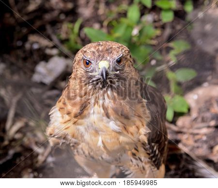 The red-tailed hawk is a bird of prey, one of three species colloquially known in the United States as the chickenhawk, though it rarely preys on standard sized chickens