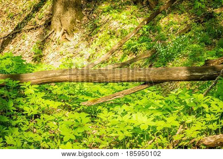 Fallen tree laid over a ravine in the forest beauty of wildlife around the light and green