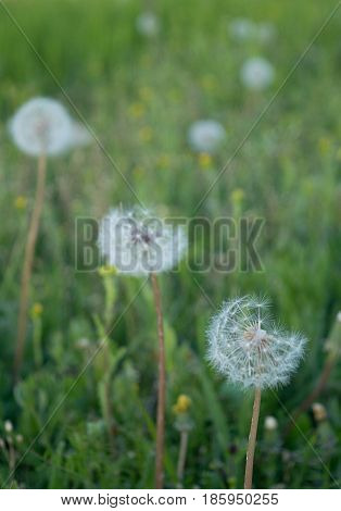 Beautiful round fluffy dandelion in a pack against the background of other dandelions in green grass