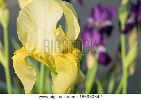 Beautiful yellow blooming iris close-up against a background of purple irises