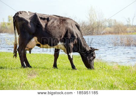 A black and white cow grazing on a meadow near the river