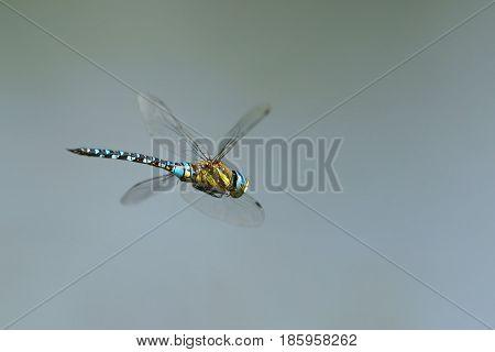Dragonfly (Odonata) Southern Hawker or Blue Hawker (Aeshna cyanea) in flight