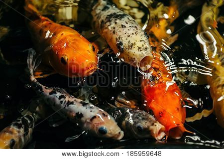 Fancy Carp or Koi Fish are redorange white black. View of carp - Bekko. Decorative bright fish floats in a pond. Close-up.
