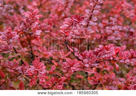 Soft focus of wet Japanese barberry, also called Thunberg's barberry, red barberry during Autumn in Tasmania, Australia Background of Berberis thunbergii leavesSoft focus