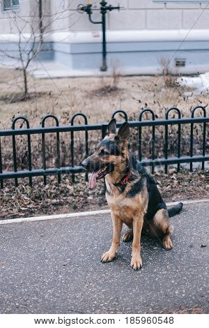 German shepherd dog are waiting. Obedience. Outside
